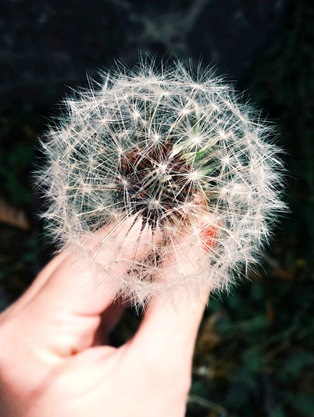 Hand holding a dandelion flower
